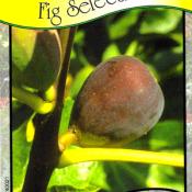 LSU Purple Fig